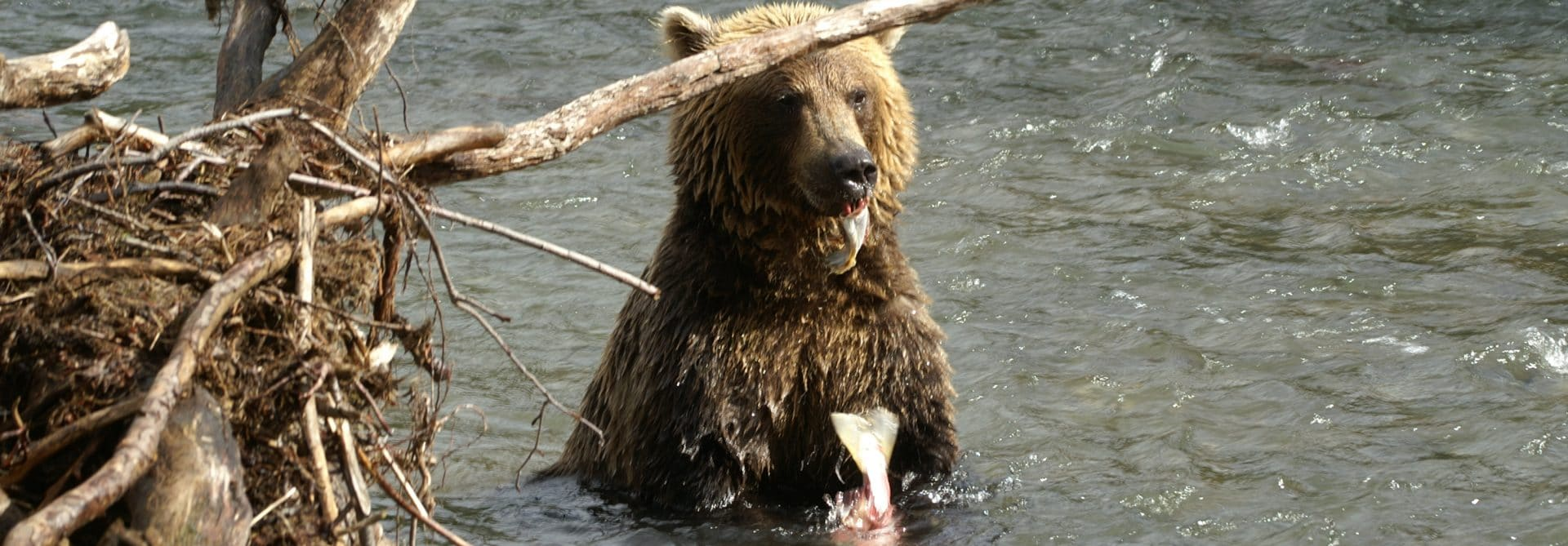 Russian Bear - Kamchatka, Russia